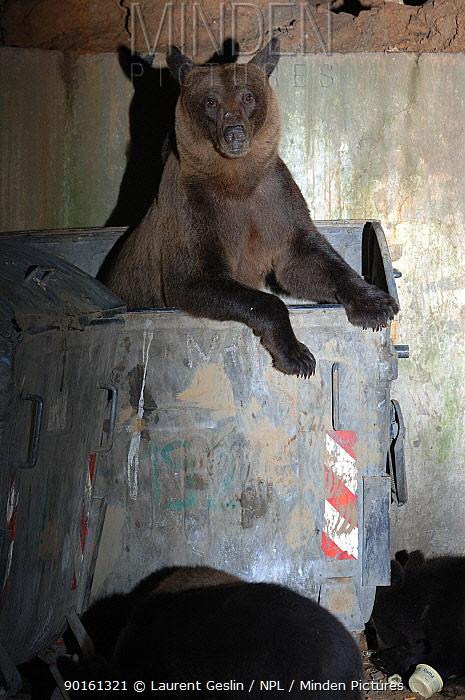 European brown bear and cub scavenging in rubbish bins (Ursus arctos) Brasov, Romania  -  Laurent Geslin/ npl