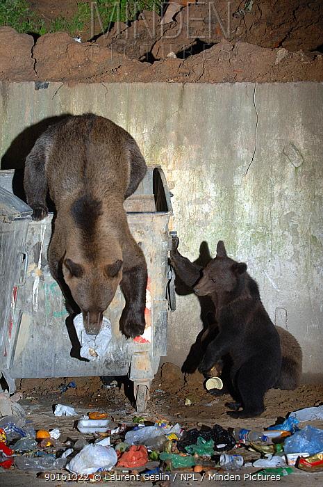 European brown bear and cubs scavenging in rubbish bins (Ursus arctos) Brasov, Romania  -  Laurent Geslin/ npl