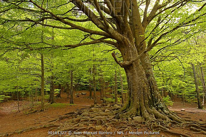 Beech tree (Fagus sylvatica) Montseny NP Vall?s Oriental, Spain  -  Juan Manuel Borrero/ npl
