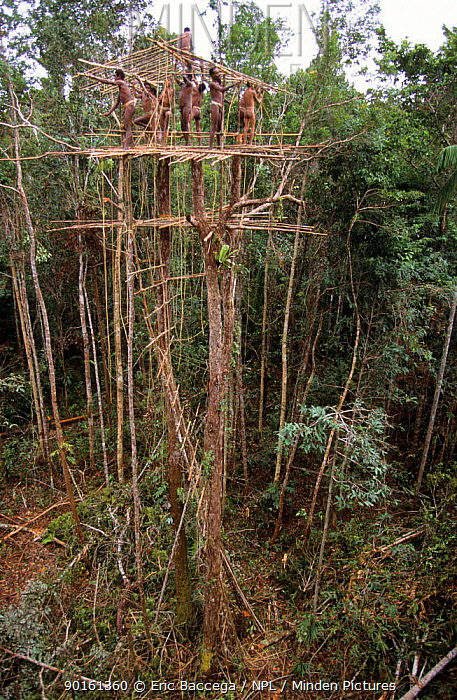 Korowai men building a house on top of a 25 meters high tree, Western Papuasia, Indonesia 1999, 2000 (West Papua)  -  Eric Baccega/ npl