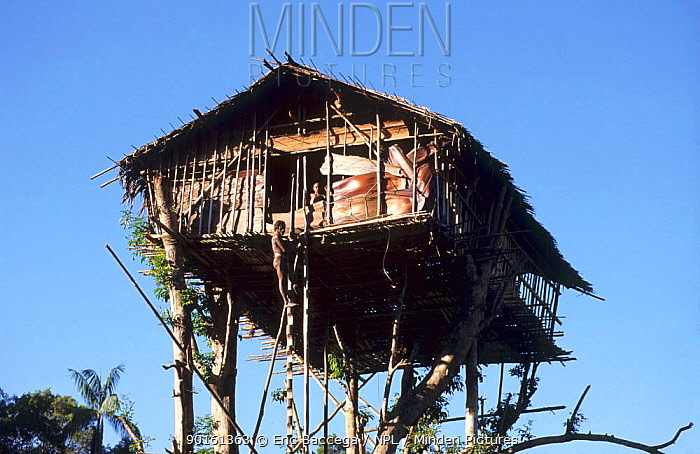 Traditional Korowai house perched in a tree 35 meters above the ground, Western Papuasia, Indonesia 1999, 2000 (West Papua)  -  Eric Baccega/ npl