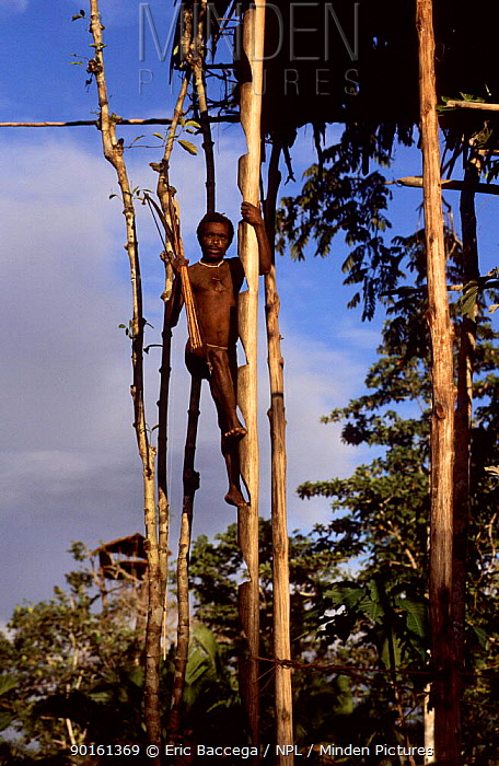 Korowai man climbing to his house on a ladder cut out in a trunk, Western Papuasia, Indonesia 1999, 2000 (West Papua)  -  Eric Baccega/ npl