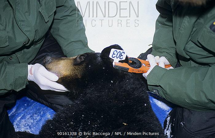Rangers fit an ear tag on a female Black bear Parc National de la Mauricie Canada  -  Eric Baccega/ npl