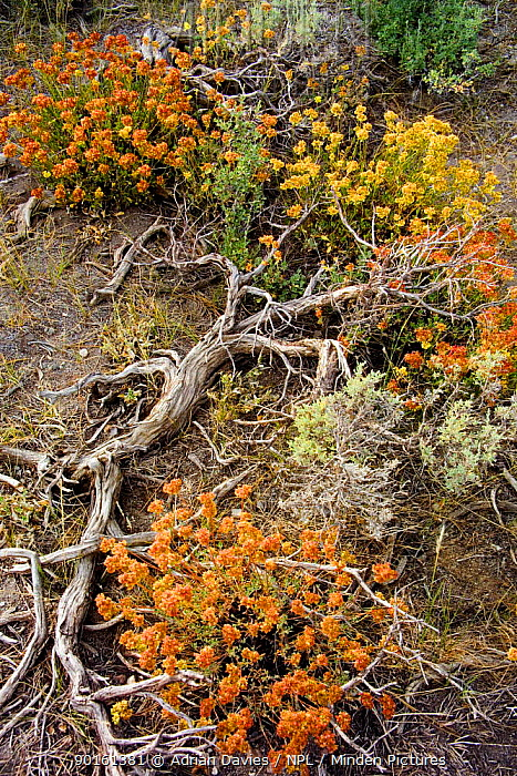 Rabbitbrush (Chrysothamnus sp) California, USA  -  Adrian Davies/ npl