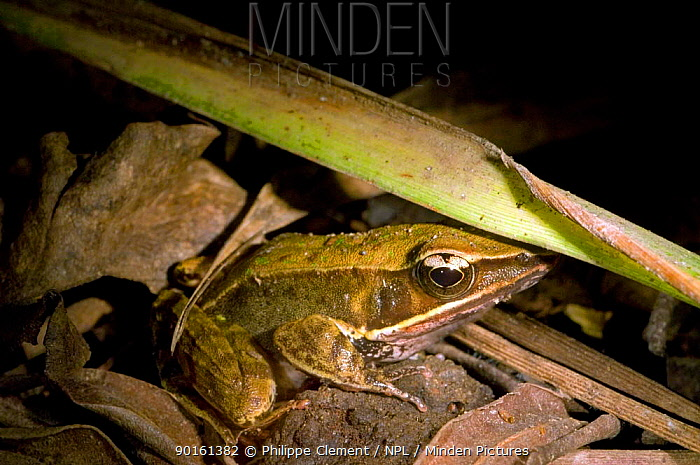 Brilliant forest frog (Rana, Lithobates warszewitschii) on the forest floor at night, Costa Rica  -  Philippe Clement/ npl