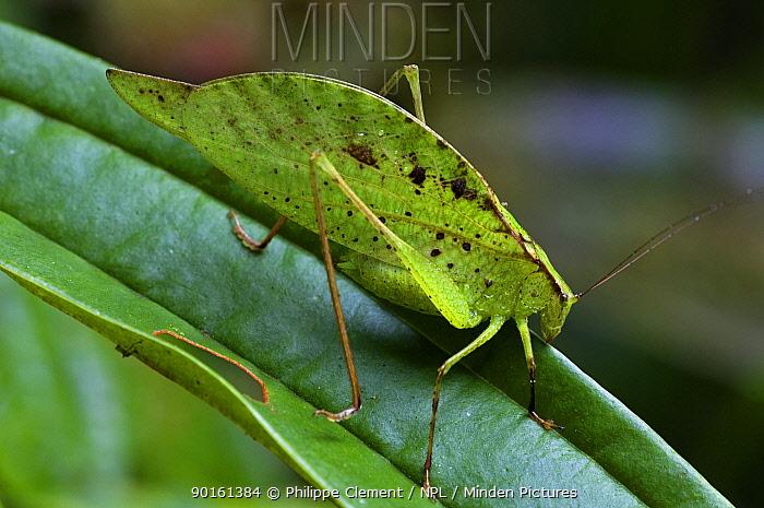 Broad winged katydid (Tettigoniidae sp) on leaf, Tapanti NP, Costa Rica  -  Philippe Clement/ npl