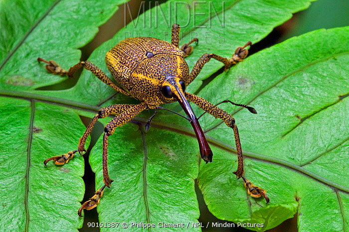 Weevil (Curculionoidae) sitting on leaf, Tapanti NP, Costa Rica  -  Philippe Clement/ npl