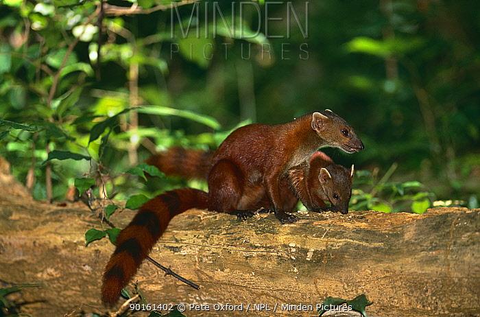 Ring tailed mongoose (Galidia elegans d'ambrensis) Ankarana special reserve, Madagascar  -  Pete Oxford/ npl