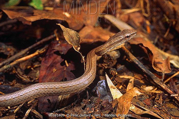 Terrestrial snake (Dromicodryas ?quadrilineatus) Ankarana SR, Madagascar  -  Pete Oxford/ npl