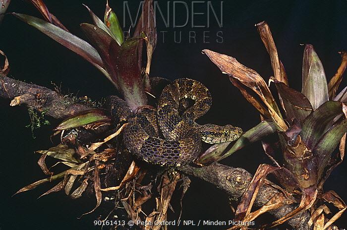 Speckled forest pit viper (Bothriopsis taeniata) captive, Amazonia, Ecuador  -  Pete Oxford/ npl