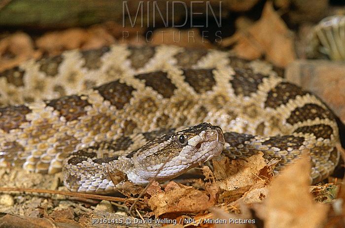 Northern pacific rattlesnake (Crotalus viridis oreganus) captive, from NW USA  -  David Welling/ npl