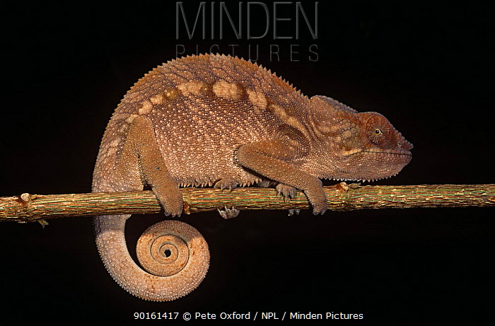 Panther chameleon (Chamaeleo, Furcifer pardalis) on branch with coiled tail, Madagascar  -  Pete Oxford/ npl