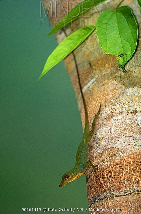 Anole lizard (Norops sp) on trunk, Manu NP, Peru  -  Pete Oxford/ npl