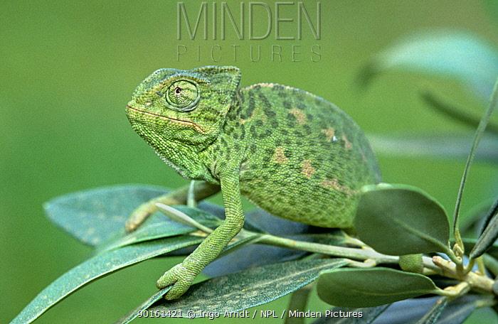 European chameleon (Chamaeleo chamaeleon) Spain  -  Ingo Arndt/ npl
