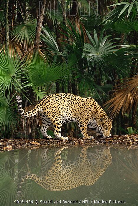 Jaguar (Panthera onca) captive, Belize, Central America  -  Shattil & Rozinski/ npl