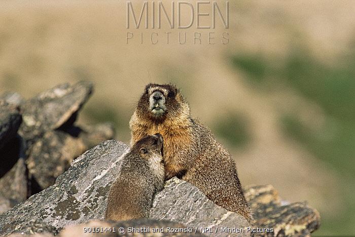 Yellow bellied marmot with suckling young (Marmota flaviventris) USA  -  Shattil & Rozinski/ npl