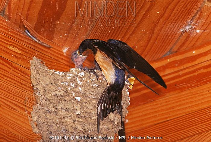 Barn swallow (Hirundo rustica) feeding chick in nest under eaves, USA  -  Shattil & Rozinski/ npl