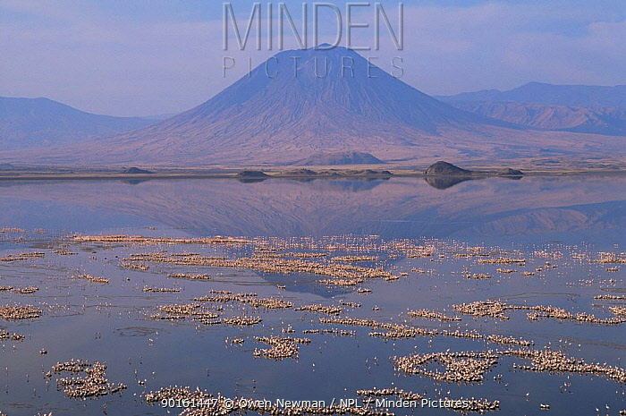 Nesting colony of Lesser Flamingo (Phoeniconaias minor) Lake Natron, Tanzania, Lesser flamingoes are threatened in East Africa and Lake Natron (their only breeding site) is now under threat from industrial pollution from Soda ash plant  -  Owen Newman/ npl