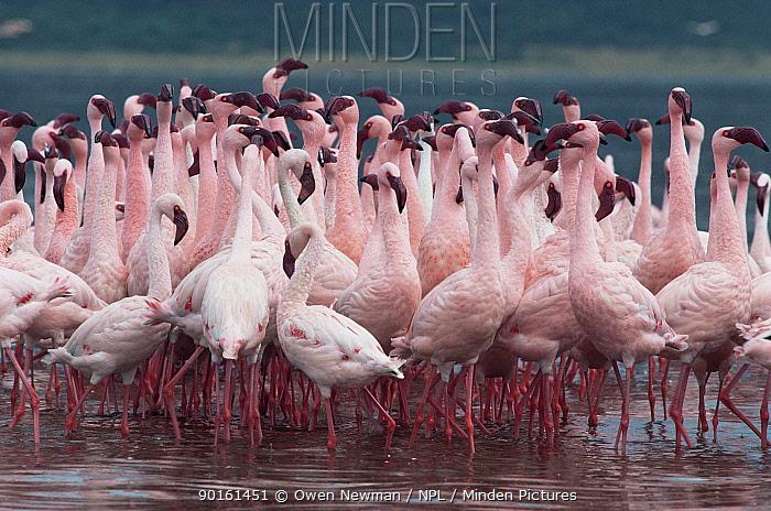 Flock of Lesser flamingoes (Phoeniconaias minor) Lake Bogoria, Kenya  -  Owen Newman/ npl