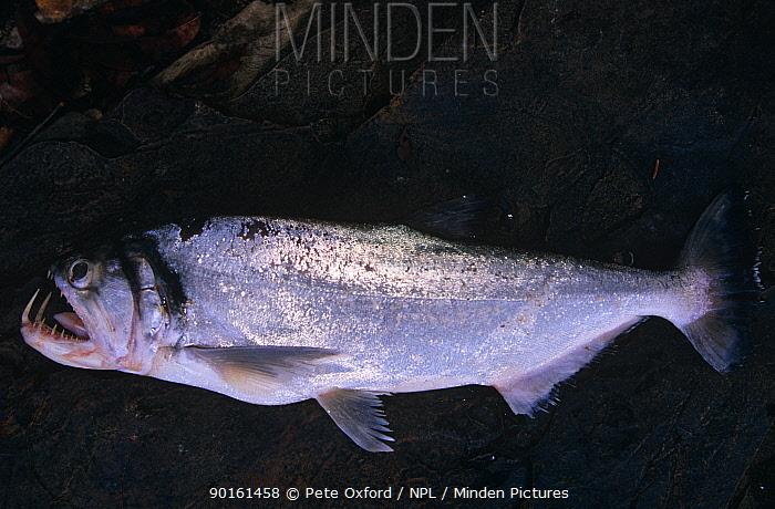 Tropical freshwater fish (Hydrolycus sp) Amazonia, Iwokrama, Guyana  -  Pete Oxford/ npl