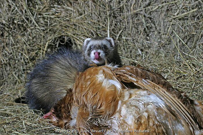 European polecat (Mustela putorius) with dead chicken, licking its lips, Controlled, Carmarthenshire, Wales, UK  -  Dave Bevan/ npl