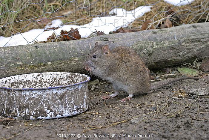 Brown rat (Rattus norvegicus) eating chicken food, Carmarthenshire, Wales, UK  -  Dave Bevan/ npl