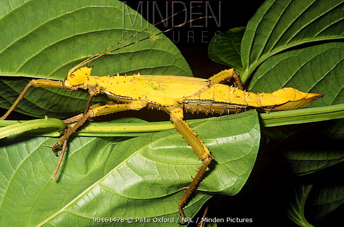 Giant horny stick insect (Heteropteryx dilatata) female, Malaysia  -  Pete Oxford/ npl