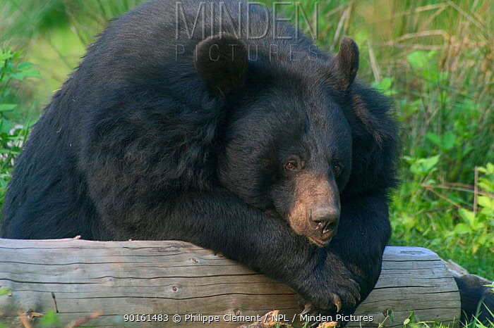 Asiatic black bear resting in zoo (Ursus thibetanus) Germany Isselburg zoo  -  Philippe Clement/ npl