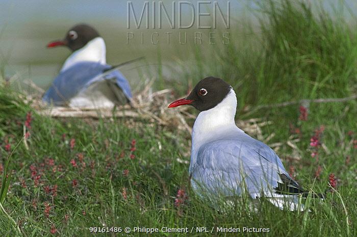 Black-headed gulls nesting (Larus ridibundus) Belgium  -  Philippe Clement/ npl