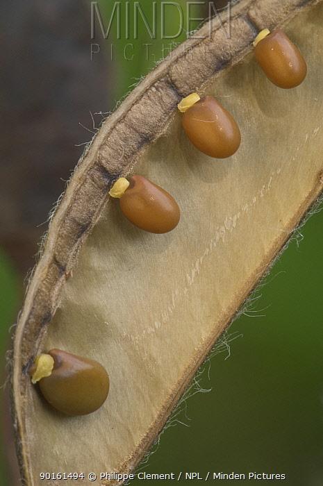 Broom seed pod (Cytisus scoparius) Belgium  -  Philippe Clement/ npl