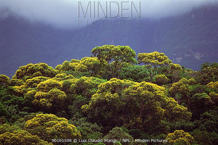 Atlantic rainforest with Angelica do Brejo trees in flower (Vochysia acumintata) Brazil  -  Luiz Claudio Marigo/ npl