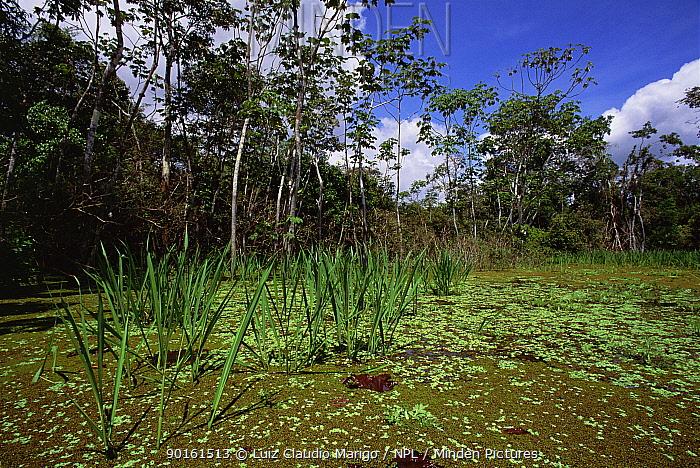 Flooded rainforest (Varzea) and Chavascal vegetation, Mamiraua Ecol Stn, Amazonas, Brazil  -  Luiz Claudio Marigo/ npl