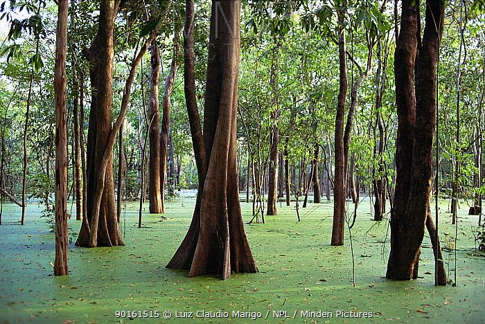 Trees in flooded rainforest (Igapo), River Negro, Amazonas, Brazil  -  Luiz Claudio Marigo/ npl
