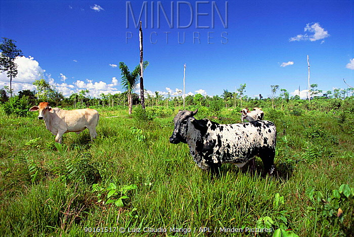 Cattle on pasture land cleared from tropical rainforest, Manaus, Brazil  -  Luiz Claudio Marigo/ npl