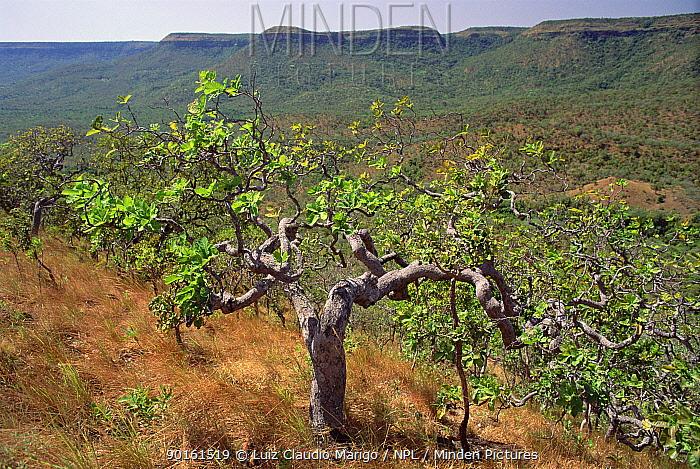 Cajui tree (Anacardium humile), Palmas Ecol Stn, Tocantins, Brazil  -  Luiz Claudio Marigo/ npl