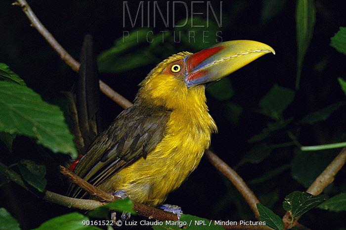 Saffron toucanet (Baillonius bailloni) Atlantic rainforest, SE Brazil  -  Luiz Claudio Marigo/ npl