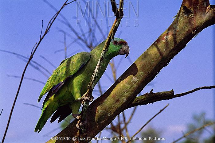 Festive parrot (Amazona festiva) Amazonas, Brazil  -  Luiz Claudio Marigo/ npl