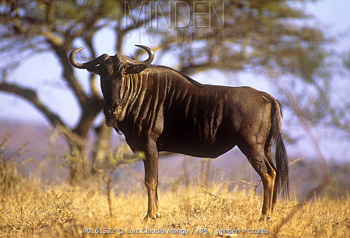 Wildebeest (Connochaetes taurinus) on veldt, Umfolozi GR, Natal, South Africa  -  Luiz Claudio Marigo/ npl