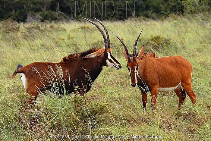 Two female Sable antelope (Hippotragus niger) Shimba Hills NP, Kenya  -  Luiz Claudio Marigo/ npl