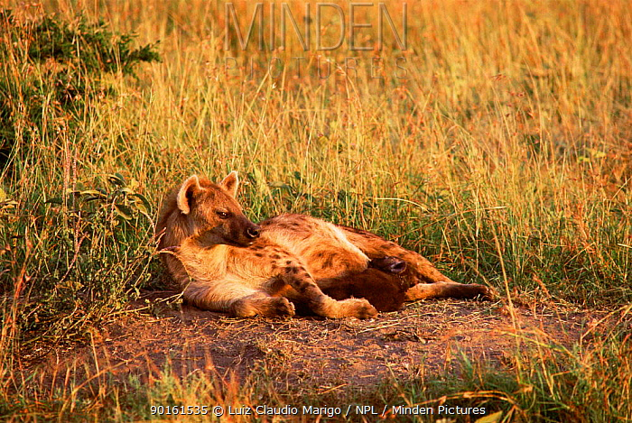 Spotted hyaena suckling cubs (Crocuta crocuta) Masai Mara GR, Kenya  -  Luiz Claudio Marigo/ npl
