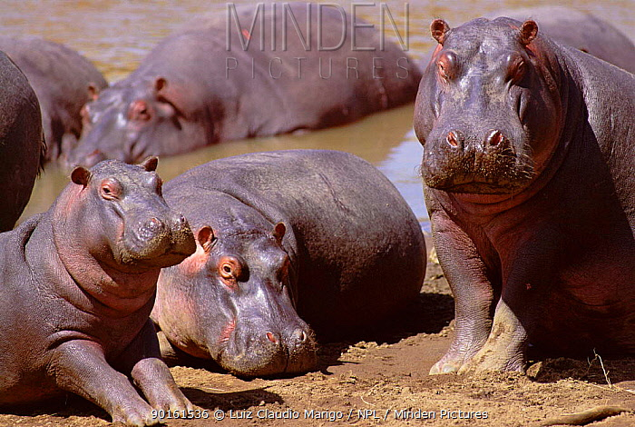 Hippopotamus basking on river bank (Hippopotamus amphibius) Masai Mara GR, Kenya  -  Luiz Claudio Marigo/ npl
