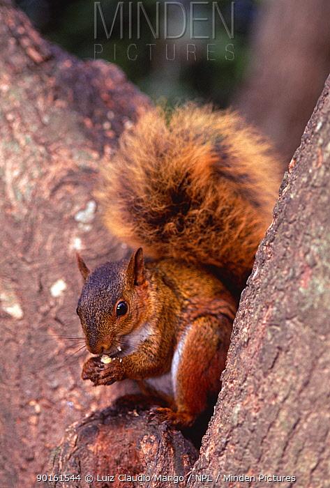 South Amazon red squirrel (Sciurus spadiceus) Upland rainforest, Bolivia  -  Luiz Claudio Marigo/ npl