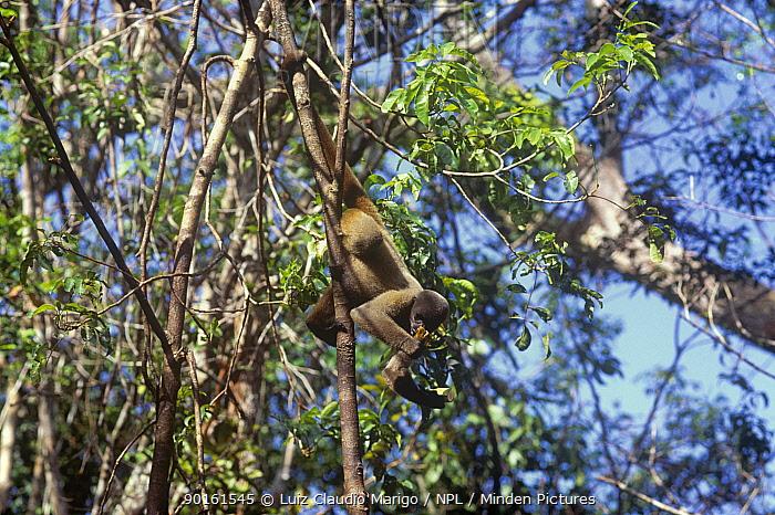 Common, Humboldts woolly monkey (Lagothrix lagothricha) hanging by tail in rainforest tree, Brazil, Vulnerable species  -  Luiz Claudio Marigo/ npl