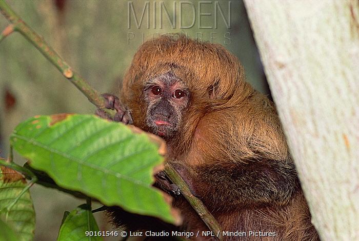 Sot faced, buffy saki monkey (Pithecia albicans) Amazonas, Brazil  -  Luiz Claudio Marigo/ npl
