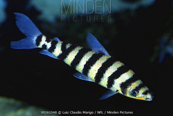 Banded leporinus, Aracu-pinima fish (Leporinus fasciatus) Amazonas, Brazil  -  Luiz Claudio Marigo/ npl