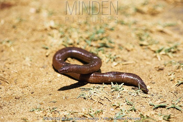 Noronha worm lizard (Amphisbaena ridleyi) Noronha Is, Brazil  -  Luiz Claudio Marigo/ npl