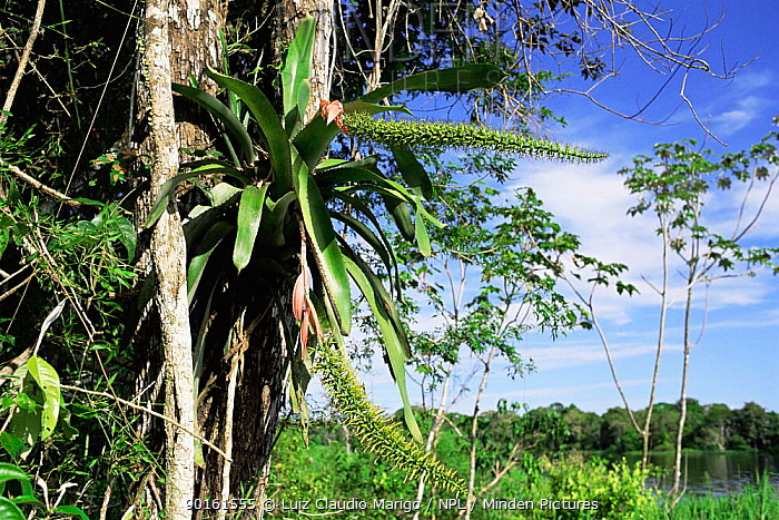 Bromeliad (Vriesea hyeroglyphica) Rio de Janeiro state, Brazil  -  Luiz Claudio Marigo/ npl