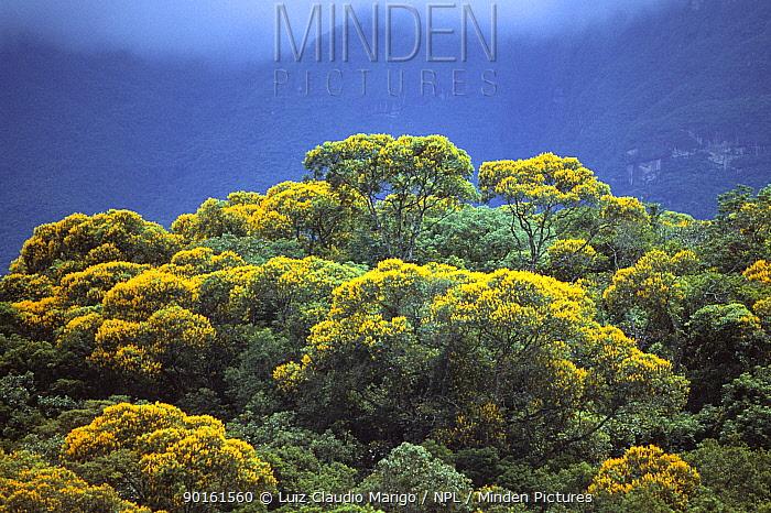 Angelica-do-Brejo trees in atlantic rainforest (Vochysia acuminata) Brazil  -  Luiz Claudio Marigo/ npl