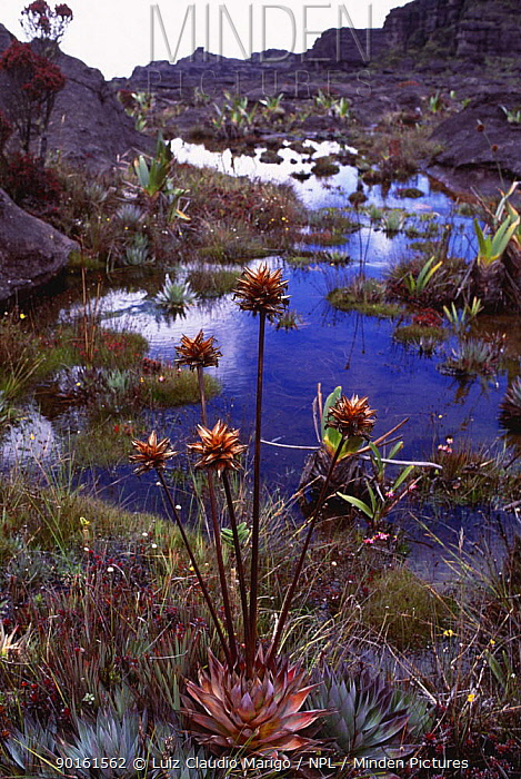 (Orectanthe sceptrum) plants on summit of Mount Roraima, Venezuela  -  Luiz Claudio Marigo/ npl
