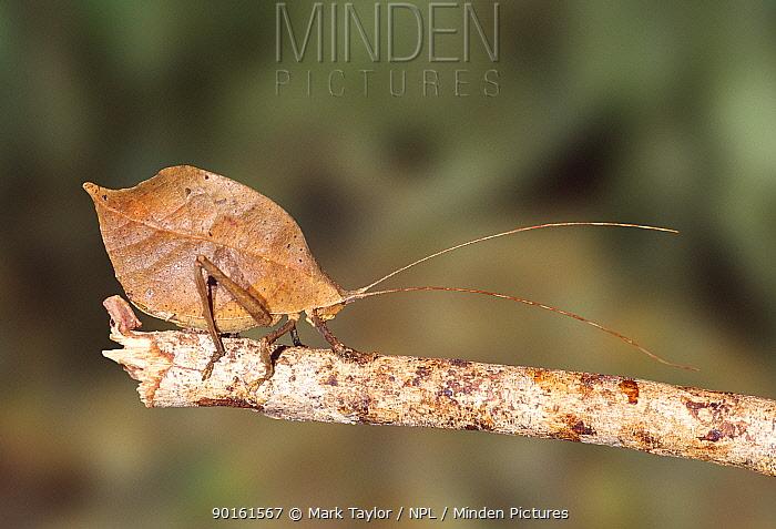 Katydid (Tettigonoidae) Costa Rica  -  Mark Taylor/ npl